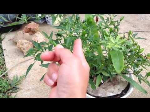 วิธีผสมเกสรพริกขี้หนูด้วยนิ้วมือ