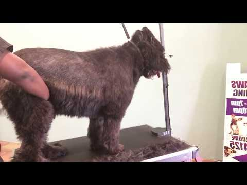 How to groom a Bouvier des flandres: video 1 of 3