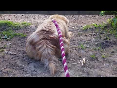 Woofy and Lacey Sheep watch Part 3 (Norfolk Terriers)