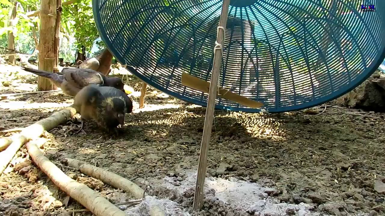 how to build pigeon trap easy- pigeon trap door-អន្ទាក់ព្រាប & how to build pigeon trap easy- pigeon trap door ... Pezcame.Com