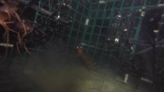Amazing GoPro Footage Inside a Shrimp Trap