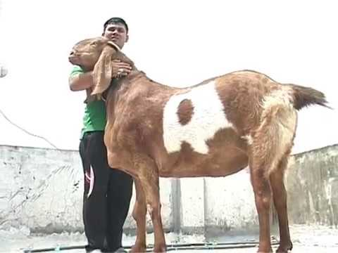 Bakra Eid: Sultan for sale on Eid