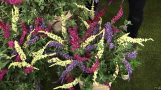 Cottage Farms 3-pc. Flutterby Multi-Color 3-in-1 Butterfly Bush with Jill Bauer