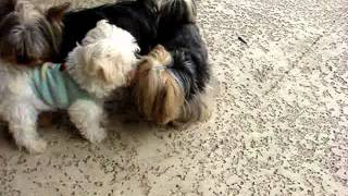 This Video Previously Contained A Copyrighted Audio Track. Due To A Claim By A Copyright Holder, The Audio Track Has Been Muted.     Bella The Maltese Puppy