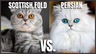 Scottish Fold Cat VS. Persian Cat
