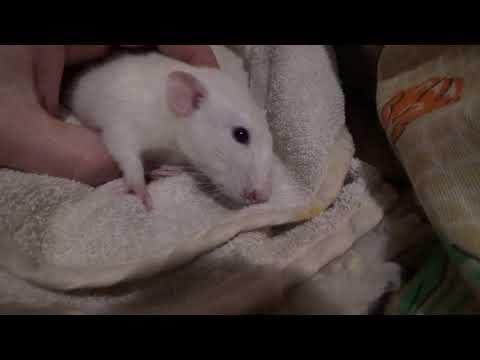 Смерть крыса Фунтика.
