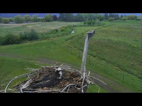 Osprey Nest - Charlo Montana Cam 05-13-2017 05:28:06 - 06:28:06