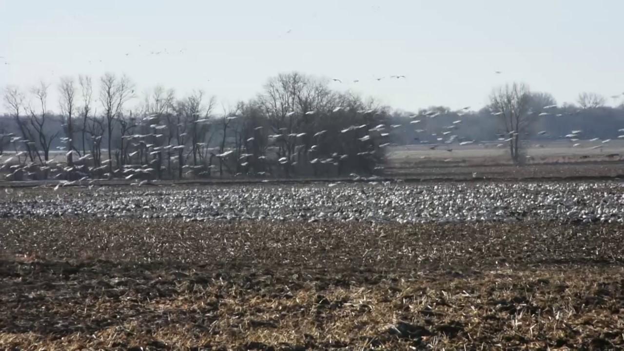 2017 Snow Goose Migration - YouTube