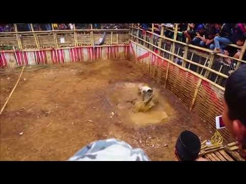 هذا الصباح-كلاب صيد بحلبة مصارعة في إندونيسيا  - نشر قبل 1 ساعة