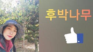 후박나무-신라조경농원