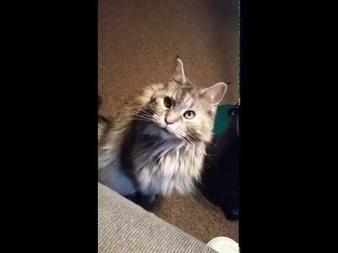 My Maine Coon Cat, begging for food.