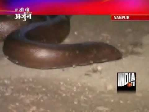 Two Nabbed In Nagpur While Selling Sand Boa Snake For Rs 5 Cr Youtube