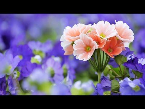 Çiçeklern rengi neden birbirinden farklıdır?
