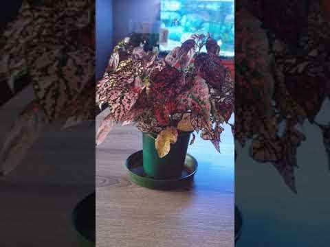 Гипоэстес. Моя новиночка комнатное растение.