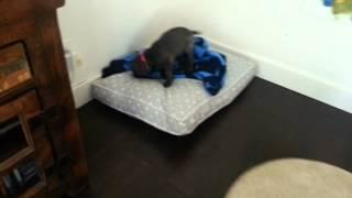 Blue Weimaraner Puppy Play Time