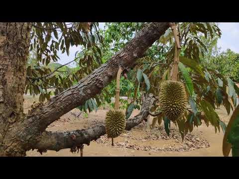 legitnya-jambu-bol-jamaika-dan-mengagumkannya-durian-montong-di-agro-purwosari-mijen-semarang