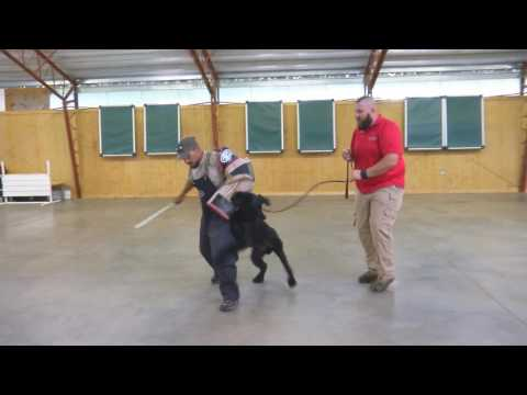 """Giant Schnauzer """"Felix"""" Protection Trained Dog For Sale"""