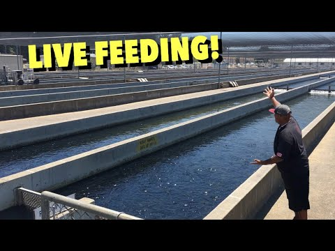 THIS FISH FARM HAS OVER 2 MILLION FISH!
