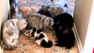 Persian Cats Feeding Time