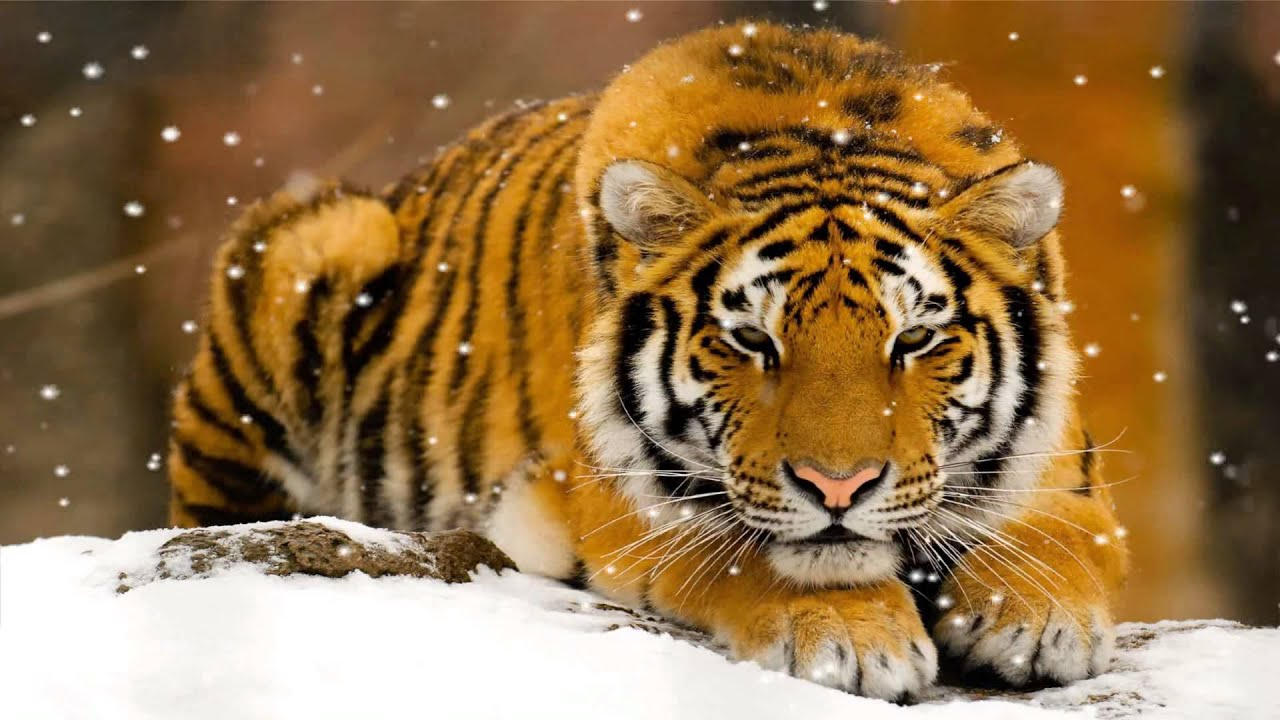 wild tigers animated wallpaper http://www.desktopanimated - youtube
