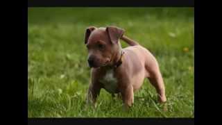 Все породы собак.Американский Пит Бультерьер (American Pit Bull Terrier)