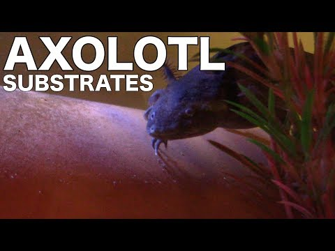 Axolotl Substrate Options - Axolotl Care for Beginners
