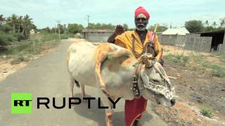 India: Watch This Five-legged Holy Cow Bless The Hindu Faithful