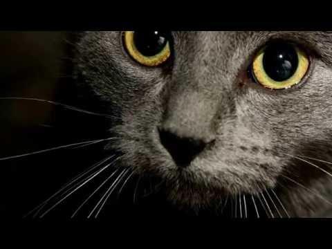 Вопрос: Существуют ли коты с голубым цветом у шёрстки?
