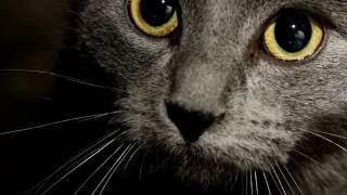 Порода кошек. Русская голубая кошка.Очень редкий вид кошек