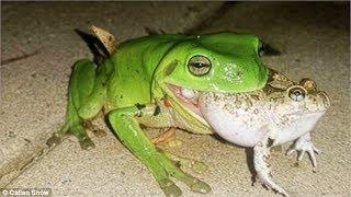 Chuyện Lạ ! Phát Hiện Con Ếch Xanh Ăn Thịt Tổ Chim Cút Rừng . Frog vs Bird