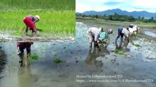 Method of Planting Rice: Ziro, Arunachal Vs Dibrugrh, Assam