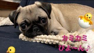 このビデオは シオン❤️PUG生後3ヶ月のロープで遊んでる様子です。 チャ...
