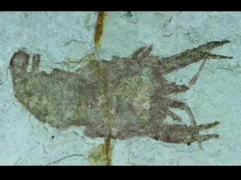 Cricoidoscelosus aethus | Lower Cretaceous Crustacean | Crayfish Fossil for Sale