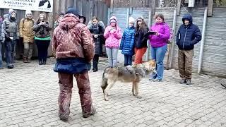 Обучение новому навыку, волк Февраль