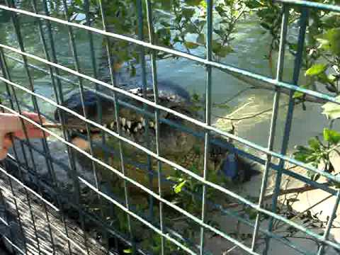 Crocodile eating a hotdog at Gatorland in Orlando Flordia