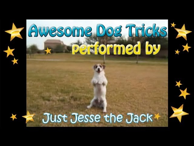 Dog Tricks performed by Jesse the Amazing JRT!
