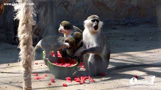Odessa1.com - Кормление зеленых мартышек в Одесском зоопарке арбузом