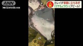 カレイな立ち泳ぎで・・・「エサくれ」アピール?(20/01/07)