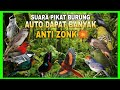 Suara Pikat Burung Kecil Auto Dapat Banyak Burung Di Hutan Seindonesia Pasti Cepat Mendekat  Mp3 - Mp4 Download
