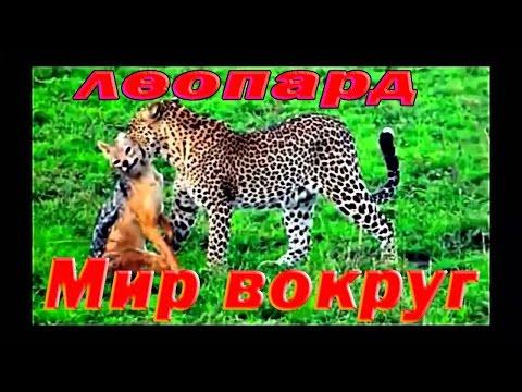 Леопард против орла, против гиены. Бабуины атаковали леопарда. - Ruslar.Biz