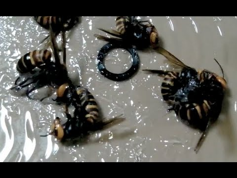 Capture of Giant Hornets!