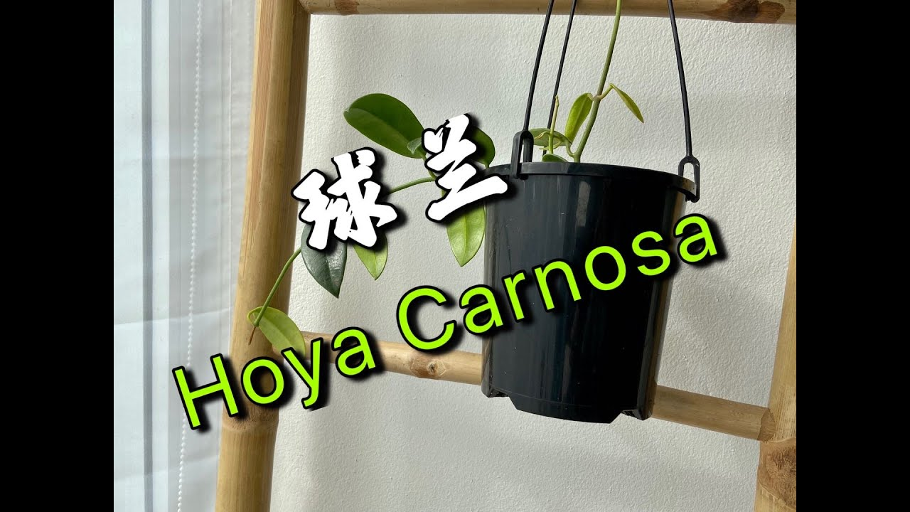 静姐说花394: 新手初识球兰,Hoya