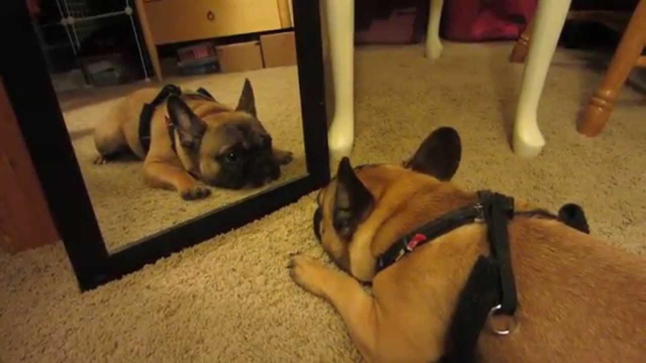 Dog Barking At Mirror