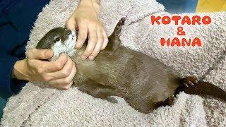 カワウソコタローとハナ 父ちゃんのマッサージに悶えるハナ Otter Kotaro&Hana Its Time to Relax