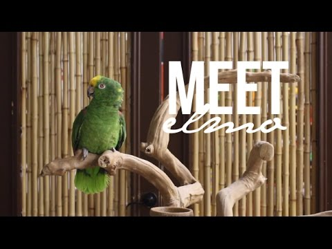 Meet Elmo, the Yellow Crowned Amazon Parrot! | Parrot Partner Canada