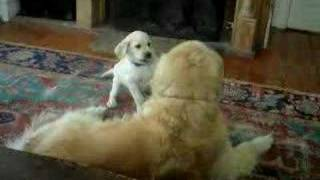 Yellow Lab And Golden Retriever Play - Ellie And Snickers