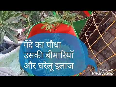 No_147 Marigold ( गेंदा) plant diseases/ home remedies treatment to cure from fungus/ Hindi/Urdu