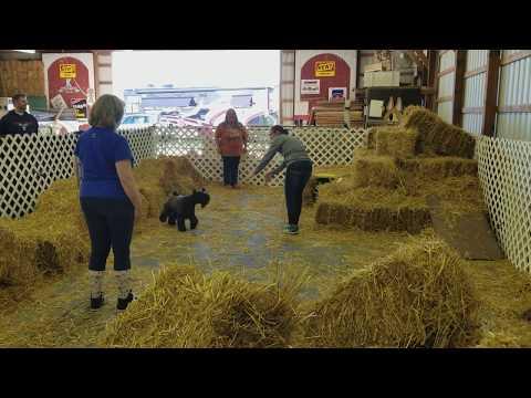 Phenix - Cross The Rubicon Jett Firebird hunts rats in Barn Hunt Trial at Monroe, Mi. Dog Show
