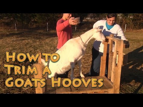 How To Trim Goats Hooves - EASY!