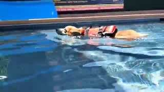 5 Month Old Puppy Pembroke Welsh Corgi Watson Swims In Swimming Pool - Underwater View   6515